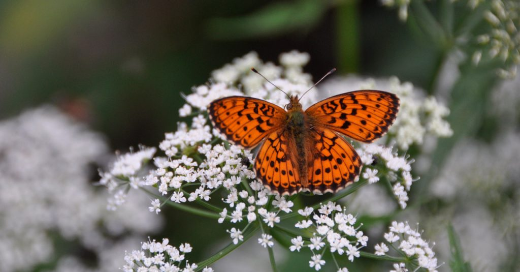 A pretty picture of an orange butterfly on a white flower